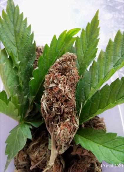 og kush fleur cbd flower town lyon cannabis weed